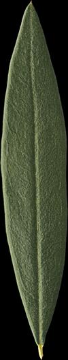 foglia-olivo