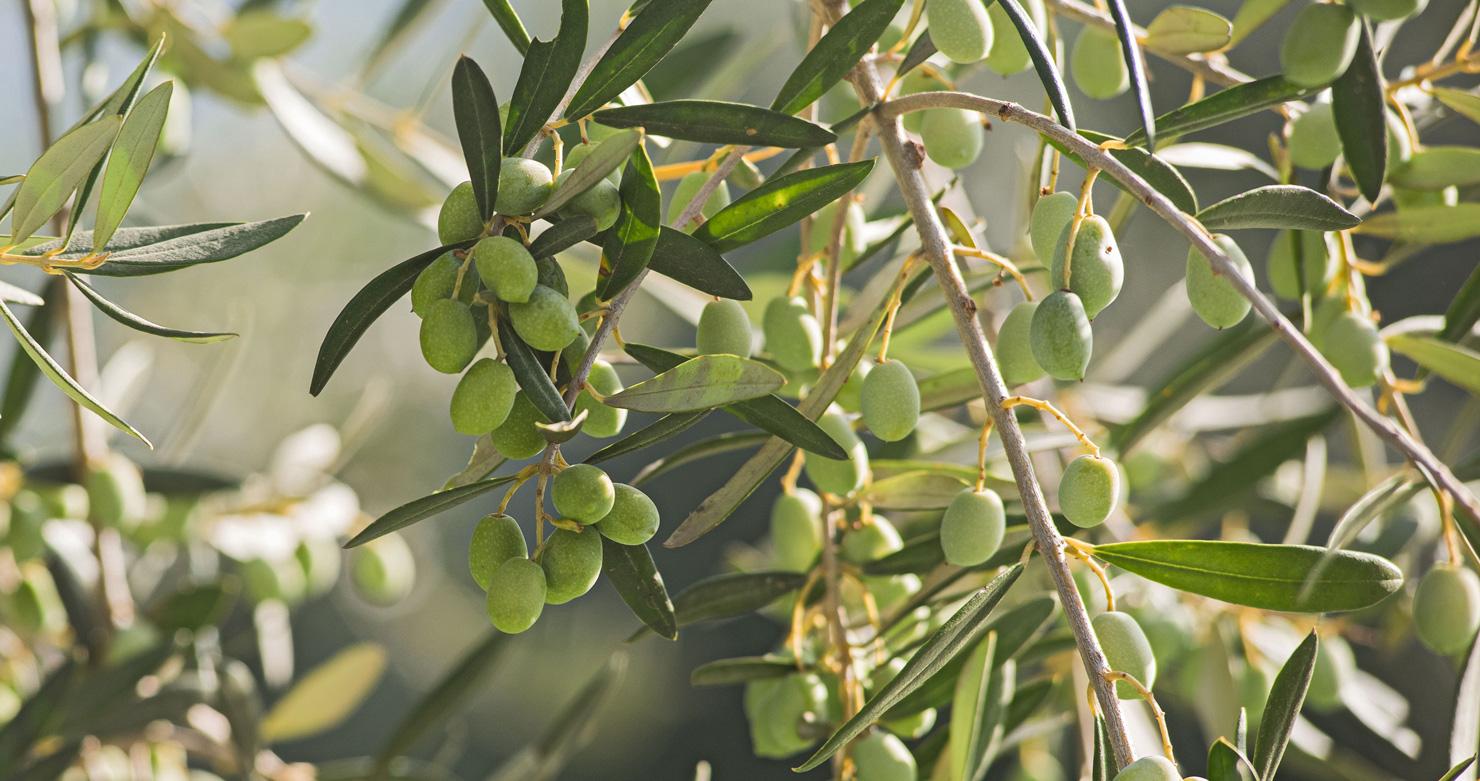 Olio di oliva penisola sorrentina